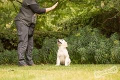 Goldeb Retriever Puppy hand signals