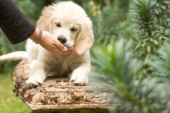 MG_63Goldeb Retriever Puppy food bribes97