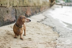 Dachshund by the sea