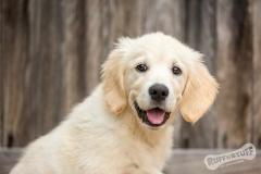 Golden Retriever Puppy Northern