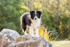 Border Collie Puppy Tempus