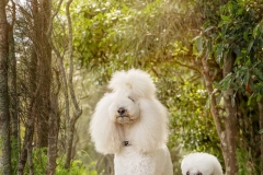 Bridget and Lamore Standard Poodles
