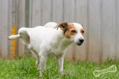 Jack Russell Rescue Dog