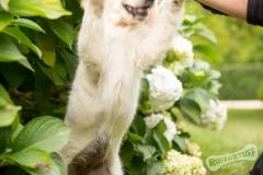 Northern Golden Retriever Puppy