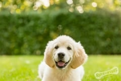 Golden Retriever Puppy Northern