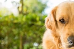 Golden Retriever Winston