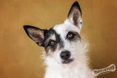 Jack Russell Terrier Rescue dog Oscar